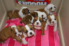 english bull dog puppies