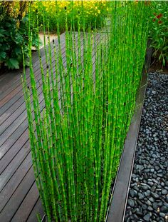 This attractive form of horsetail (Equisetum) is an invasive spreader, but confined to a planter like this, it's well-behaved AND a cool architectural addition.