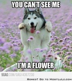 funny dogs, silly dogs, siberian huskies, flower power, puppi, moon moon, funny babies, dog memes, furry friends