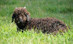 Rare & dramatic fiber breeds found at So. California's @Namaste Farms