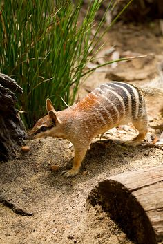 The numbat, (Myrmecobius fasciatus), is a termite eating marsupial. The species has survived only in two small patches of land in Western Australia. Numbats are unusual in that they are diurnal and unique among terrestrial mammals, because they have an additional cheek tooth located between the premolars and molars;