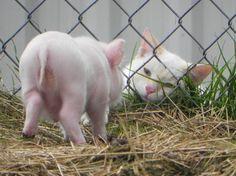 Cat meets Miniature Pig