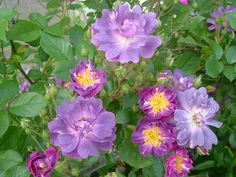 """'Veilchenblau' Rose. Vigorous """"rambler rose"""" (Group 2, for pruning) will grow 8-10' in a season. Blooms on OLD wood, so important to prune every year, after flowering (follow Group 2 Rambler Rose pruning instrux). Rose is covered with hundreds of intoxicatingly fragrant flowers (orange-blossom scent), and it will even bloom in partly-shaded areas. Almost thornless. Veilchenblau (""""veil of blue"""" in German) - a thornless, shade-tolerant purplish-maroon rose with incredible fragrance."""