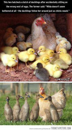 Chicken adopts baby ducks…