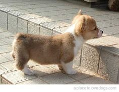 Bailey, you need this corgie puppy!!