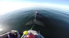 A 25-foot sub-adult humpback whale was given a second chance at life by SeaWorld's rescue team working with responders from a dozen different agencies when they freed the animal from fishing gear entangled and cutting into its tail.