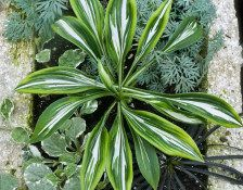 """Sparkler"" Mini Hosta. hosta sparkler, hosta mini, hosta onli, mini hosta, foliag plant, hosta plant, sparkler hosta, garden, sparklers"