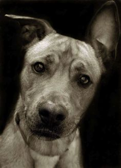 """The beautiful black and white portraits taken by photographer Traer Scott, depict the emotions and personalities of the shelter dogs she has spent time with while volunteering. The portraits have been compiled in a book entitled """"Shelter Dogs,"""" with a percentage of proceeds donated to the ASPCA."""