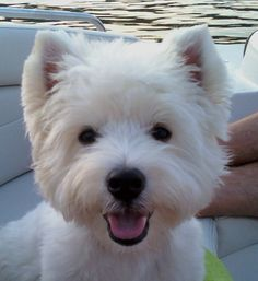 Westies!! Love those little faces!!