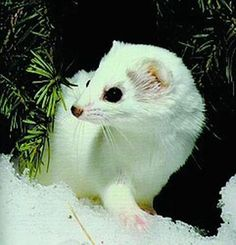 a weasel in winter