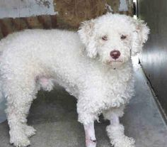 REPOSTING EUTH LISTED POODLE! Very little interest on other thread. PLEASE HELP. This boy's leg was injured somehow - had severe wound that has been getting treated. This is his LAST NIGHT ALIVE if we do not find a rescue for him. He needs PLEDGES. AND if there is anyone local that can foster him, even for a short term stay, that might help. SHARE!!! A1345721 - UNALTERED MALE , WHITE POODLE MIN, Age: 2 YEARS , Additional Info: INJURY TO LEG Intake Condition: APC-BHV This animal has been at ...
