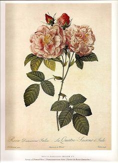 A beautiful vintage Damask Rose botanical illustration. #botanical #art #print #roses