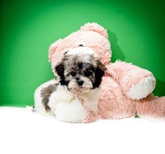 Havanese Puppies!!! Rose