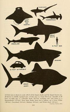 Shark sizes!