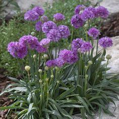 early blooming and long blooming perennial. Armeria Purple