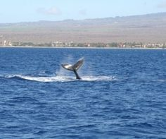 Watching whales on Maui