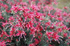 Grevillea Jelly Baby  0.4m x 1m sun/part shade, moist well drained clay, loam or sandy soils