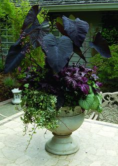 "Creative Container Combinations - this ""Purple Passion"" container combines the rich, eye-catching tones of Colocasia 'Black Magic', Brunnera 'Jack Frost', Begonia 'Benitochiba', and Heuchera 'Black Beauty'. INSPIRATION for my large turquoise planter."
