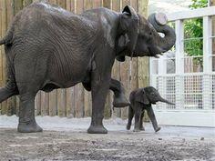 Hogle Zoo's elephant calf ZURI