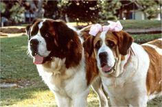 anim, missi, beethoven's 2nd, bernard dog, beethoven 2nd, saint bernard, movi beethoven, childhood, 2nd movi