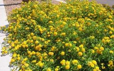 Lantana montevidensis in yellow. Great groundcover- a little grows a long way! Low water, low maintenance, long blooming period.