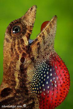 anoli, critter, hagedi, animalsreptil, creatur, amphibian, fotonatura, beauti, flowersanim