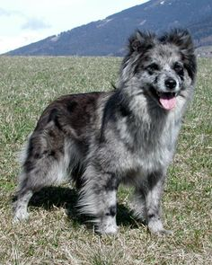 The Pyrenean Sheepdog was developed in 18th-century France for guarding & herding sheep.  It was bred for endurance & speed, and still requires a lot of exercise.  It is relatively small, easy to train, and happy with children, so it makes a good urban companion.  The longhaired variety is especially capable at handling cold climates. #www.frenchriviera.com