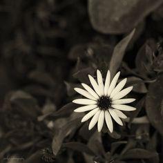 white flowers, flowers black and white, flower black, art, black white