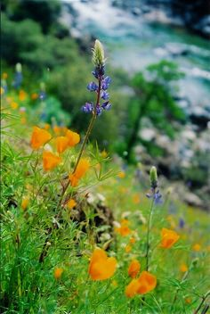 South Yuba River wildflowers