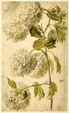 Hydrangea. Jan van Huysum, Dutch painter, water colour, British Museum.
