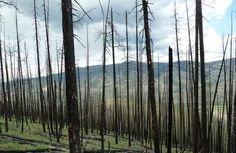 Mountain pine beetles get a bad rap for wildfires - http://scienceblog.com/74596/mountain-pine-beetles-get-bad-rap-wildfires/