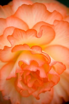 Creamsicle Begonia