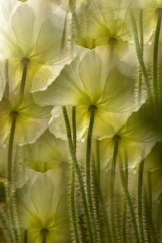yellow flowers, color, green, fairi, angl, lime, stem, poppi, eye