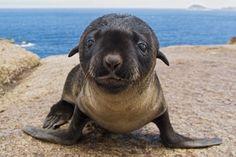 babi anim, seals, animals, furs, sea lions, babi seal, ador, animal babies, fur seal