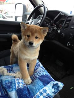 shiba inu in the front seat.. aww