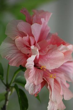 "Hibiscus ""Over the Top"""