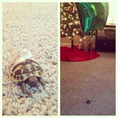 How to let your baby turtle wander about the house without losing it