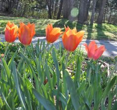 How to Grow Tulips www.fiskars.com