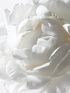 White peonies...absolute perfection!