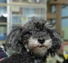 WANT WANT WANT ALERT I WANT   Francie, teeny tiny Toy Poodle http://www.petfinder.com/petdetail/25263090