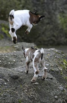 Edge Of The Plank: Cute Animals: Baby Goats