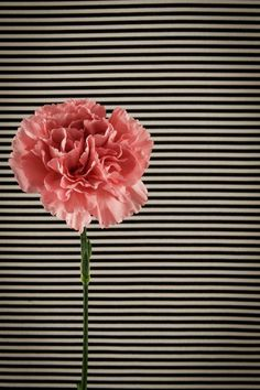 Carnation Flower Photograph Pink Carnation by TheMemorableImage