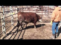 Low-Stress professional halter breaking beef cattle Part 1