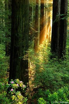 What light breaks through younder..trees? ..Well that's Del Norte Coast Redwoods State Park, California!