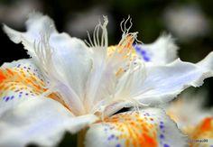 Iris Japonica Flower #tokyo #japan