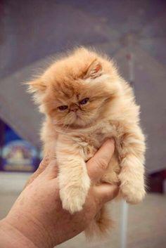 (^-^) Persian kitten