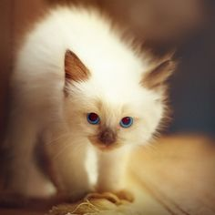 ball, pet photography, cat, blue, ragdoll kittens, chocolat, fur, baby animals, eye