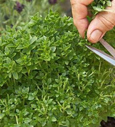 Growing tips for oregano: http://www.midwestliving.com/garden/ideas/easy-herbs-to-grow-at-home/?page=2