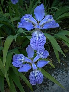 gorgeous iris
