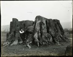 felling of old growth timber